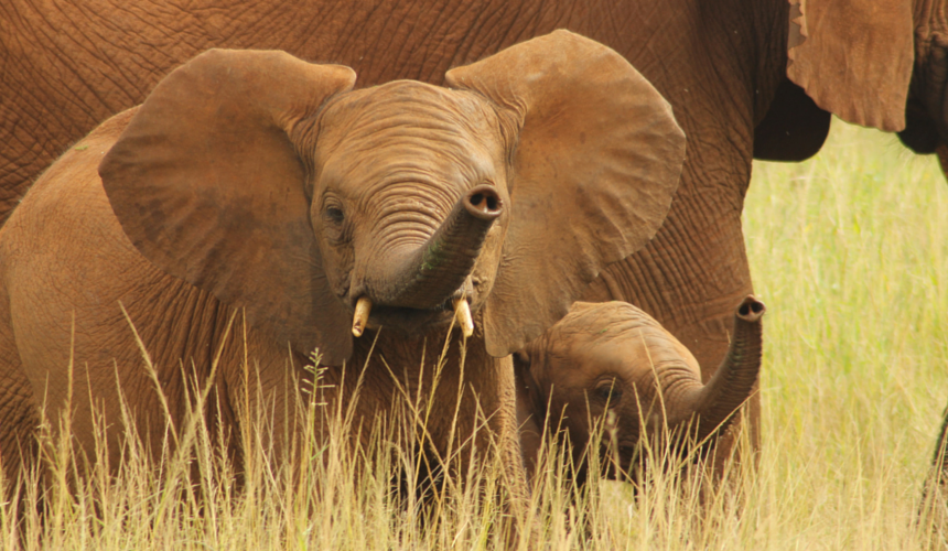 Endangered Animals Elephants are one if the species protected by the Wildlife Conservation Society