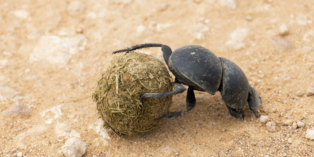 A dung beetle using elephant dung as an important source of food