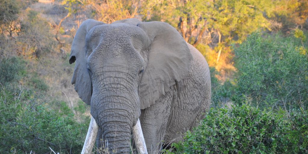 Spot elephants when you volunteer in africa with animals