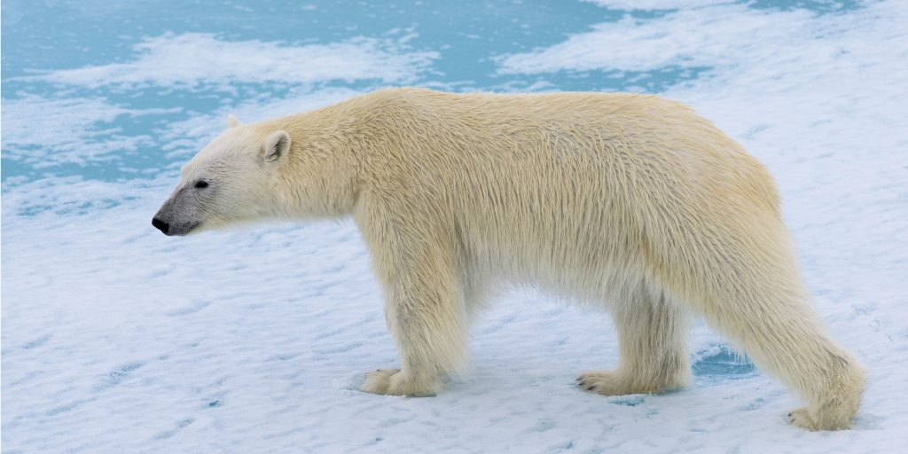 Polar bears are affected by climate change.