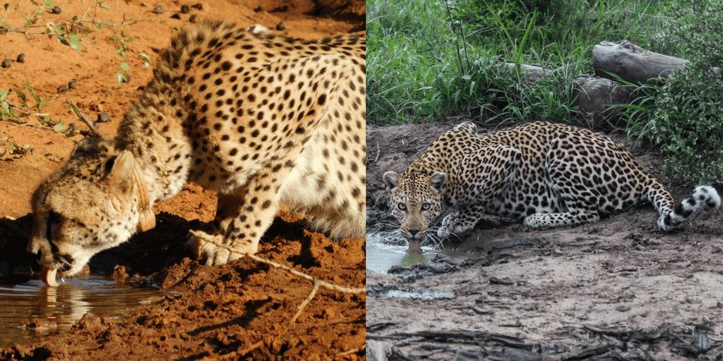 leopard vs cheetah image drinking water