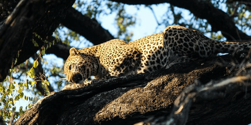 leopard eating in tree