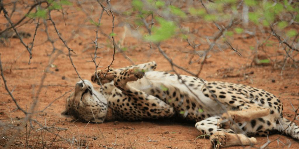 pictures of cheetahs, cheetah sleeping, cheetah lying down, cheetah rolling, cheetah playing