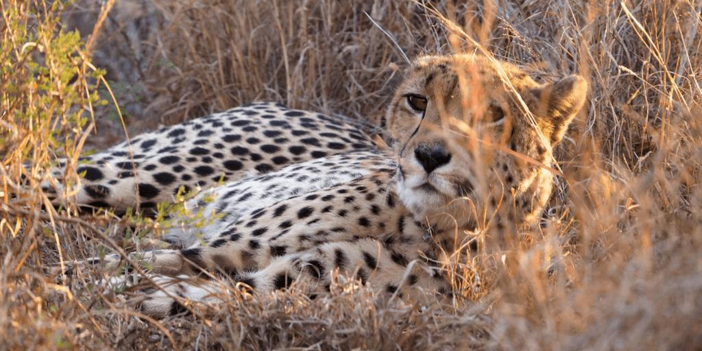 images of cheetahs, cheetah lying down