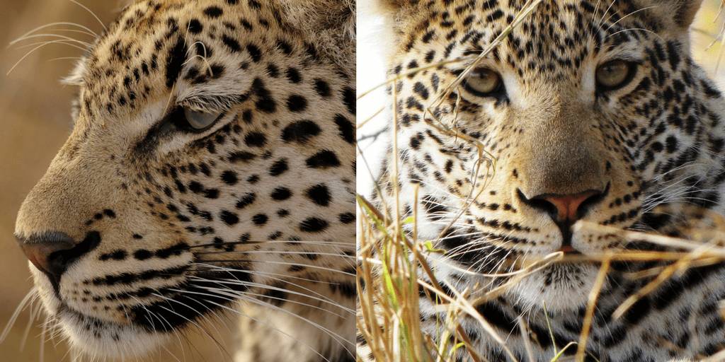 Leopard side and face portrait.