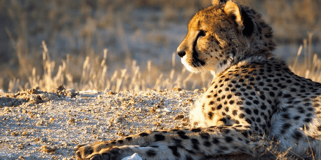 The Cheetah population can be conserved through volunteering on a wildlife program.