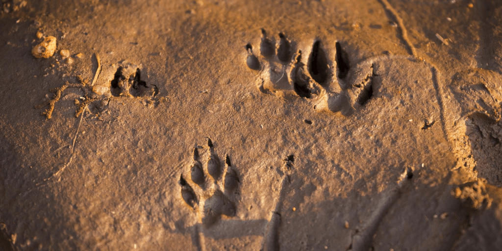The cheetah's paw prints are left in the sand.