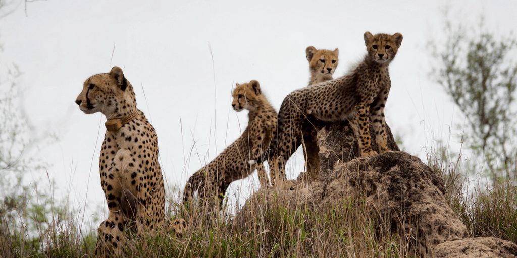 Cheetah Conservation In South Africa