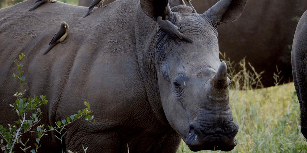 Anti Rhino Poaching Awareness Summer Volunteer Program In South Africa