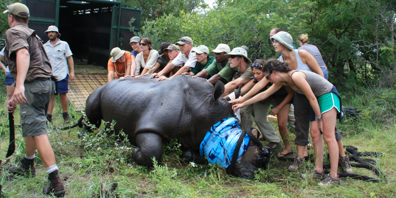 Volunteer in Africa to gain experience in wildlife conservation methods such as the humane dehorning of this Black Rhino to prevent poaching.
