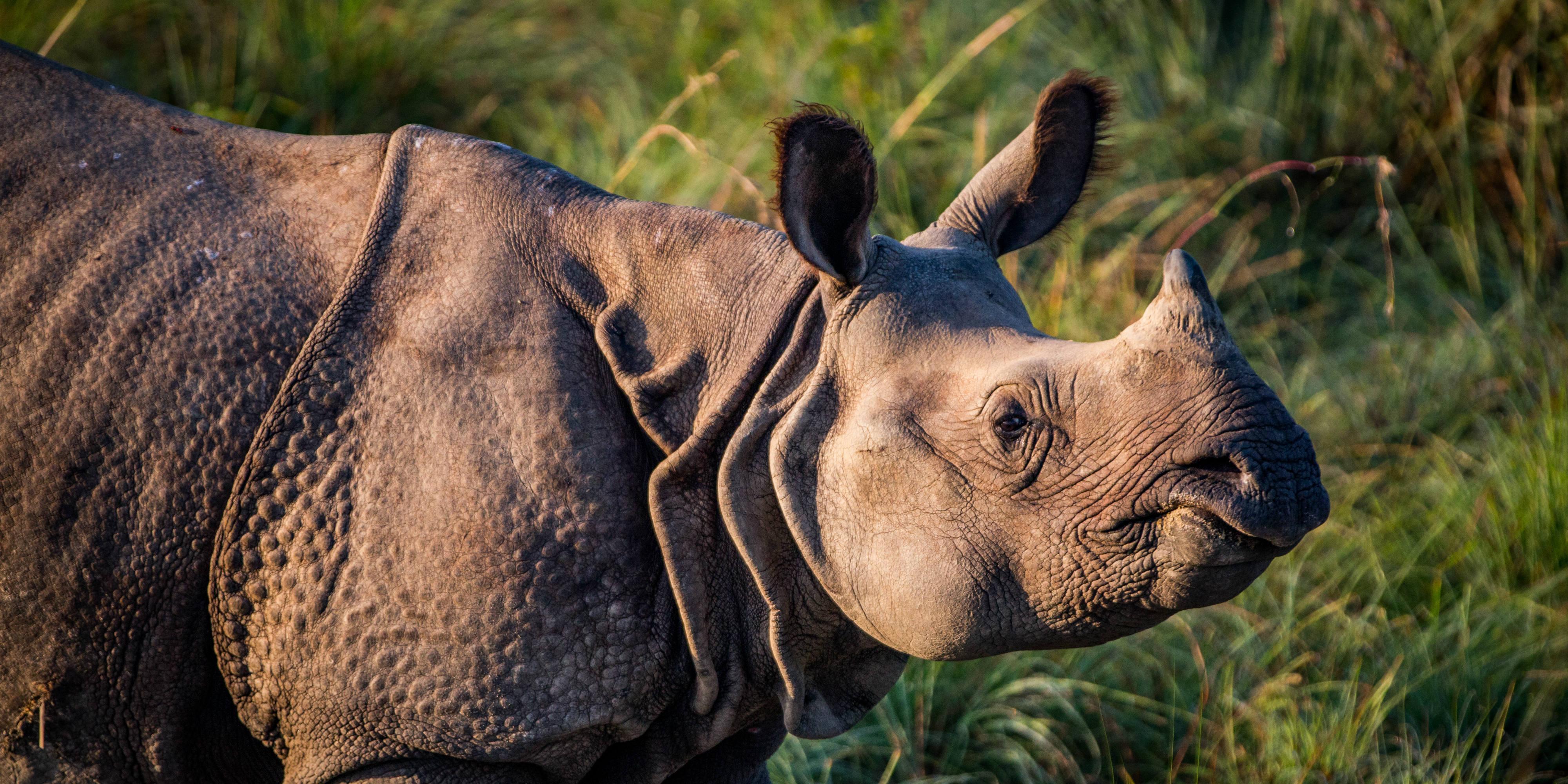 greater one-horned rhinoceros