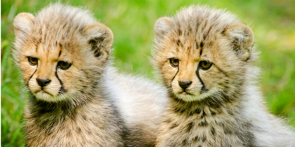Cheetah cubs have mohawks along their backs.