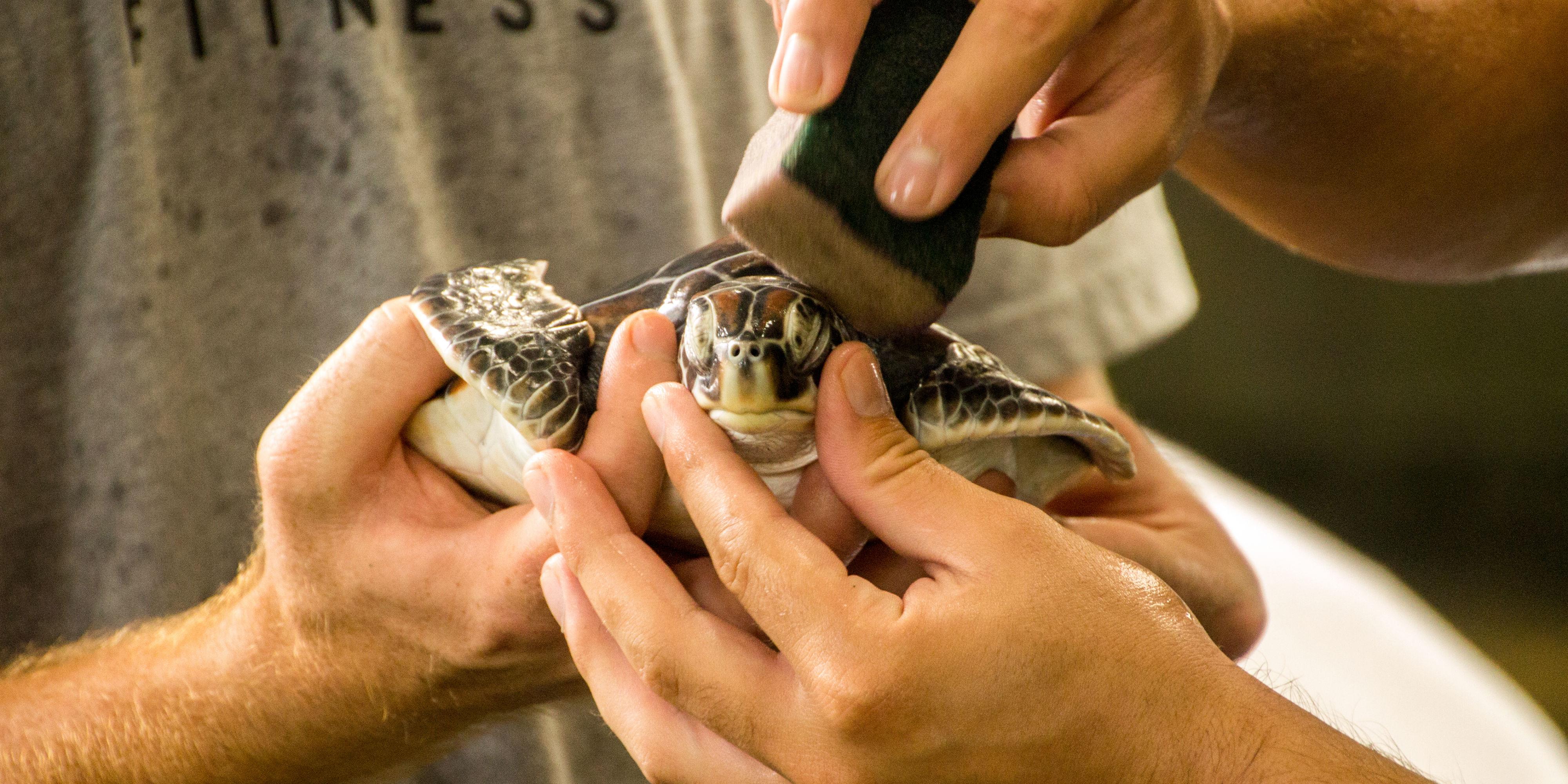 turtles endangered