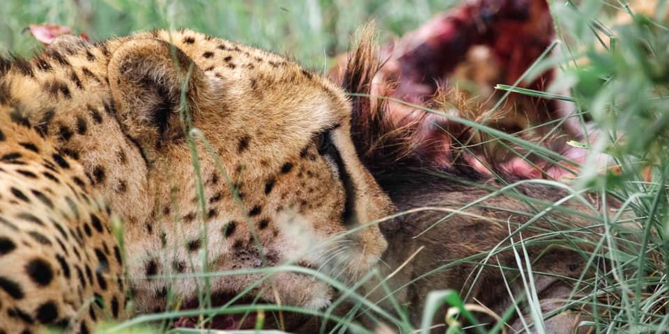 are cheetahs endangered