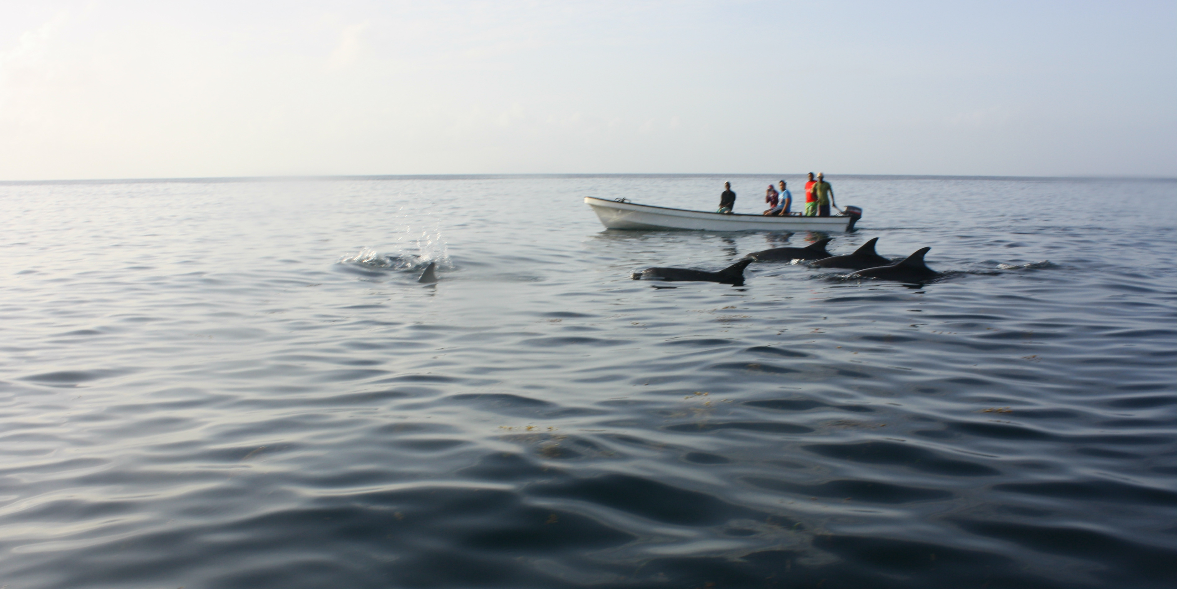 Volunteer Tanzania wildlife opportunities include monitoring dophin tourism.