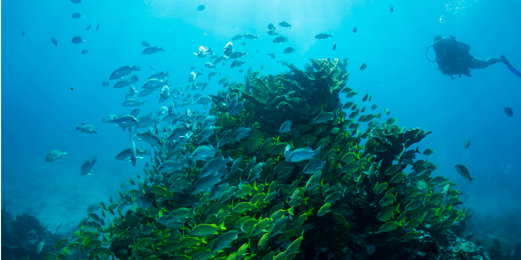 A diver observing fish swimming around a coral outcrop.