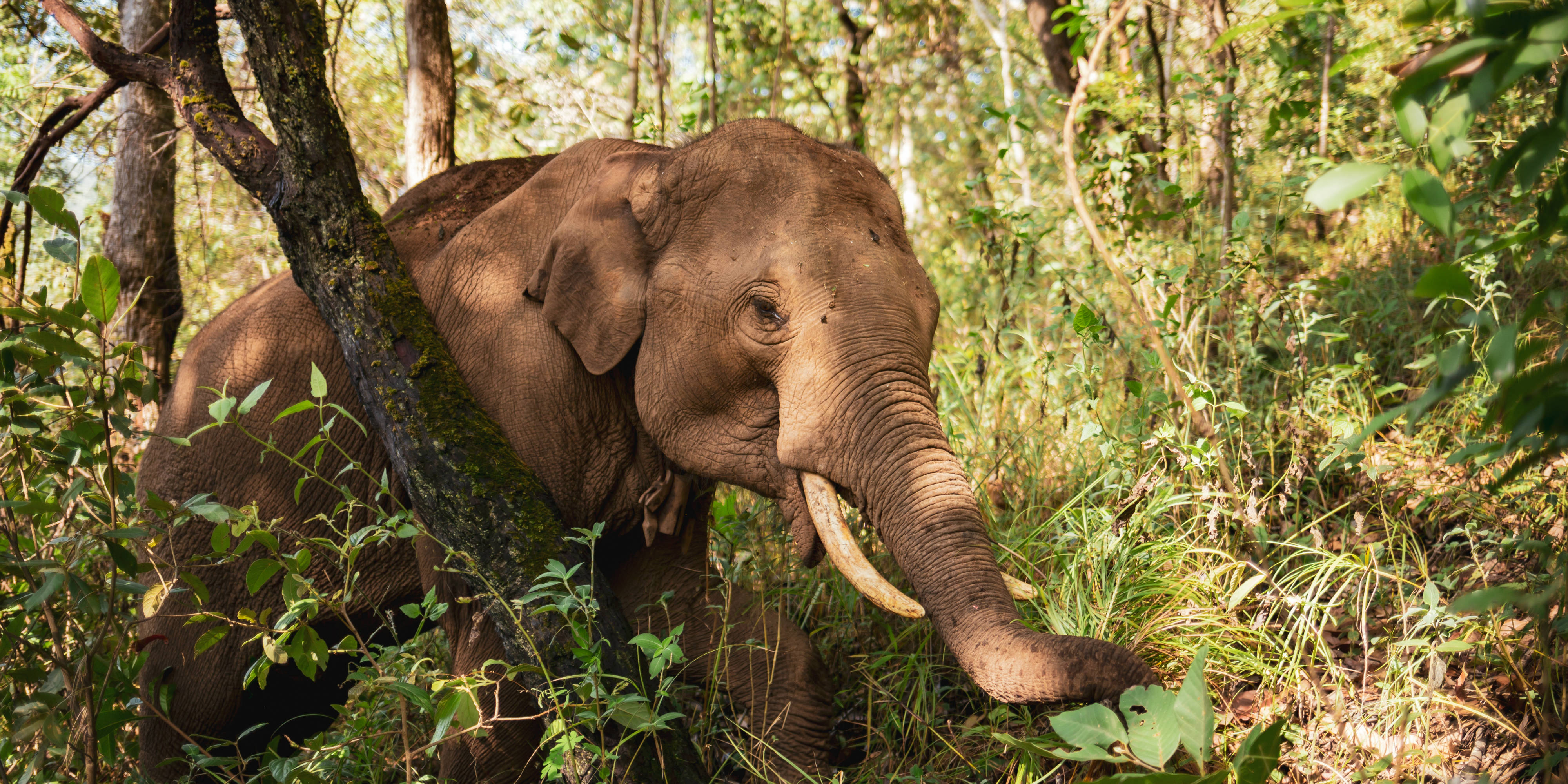 An Asian elephant forages in the forest of Chiang Mai province in Thailand. Volunteering with these gentle giants is one of the best animal volunteer programs abroad.
