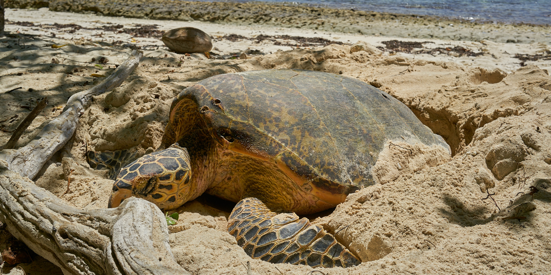 A Aldabra giant tortoise nests on a beach on Curieuse Island in Seychelles. Working to preserve these endangered turtles is one of the top volunteer abroad programs.
