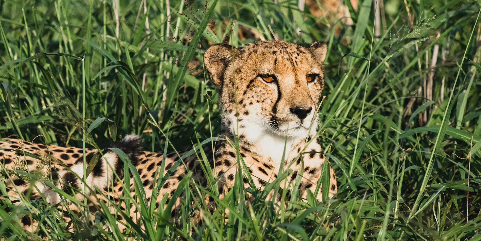 A male cheetah peers through tall grasses. This is one of the big cats being monitored by GVI in the cheetah conservation program.