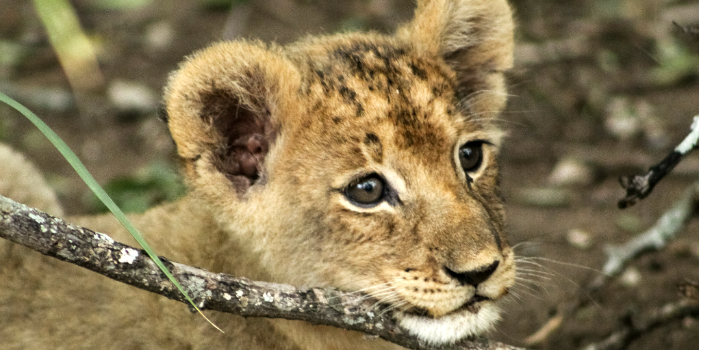 A lion cub could be one of the Big Five you'll see on a group volunteering trip in South Africa