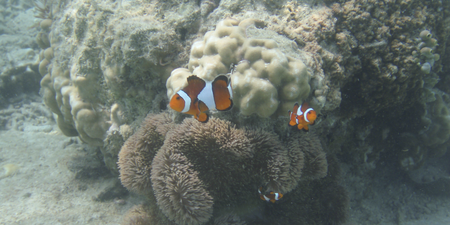 Clownfish are spot during scuba diving adventures.