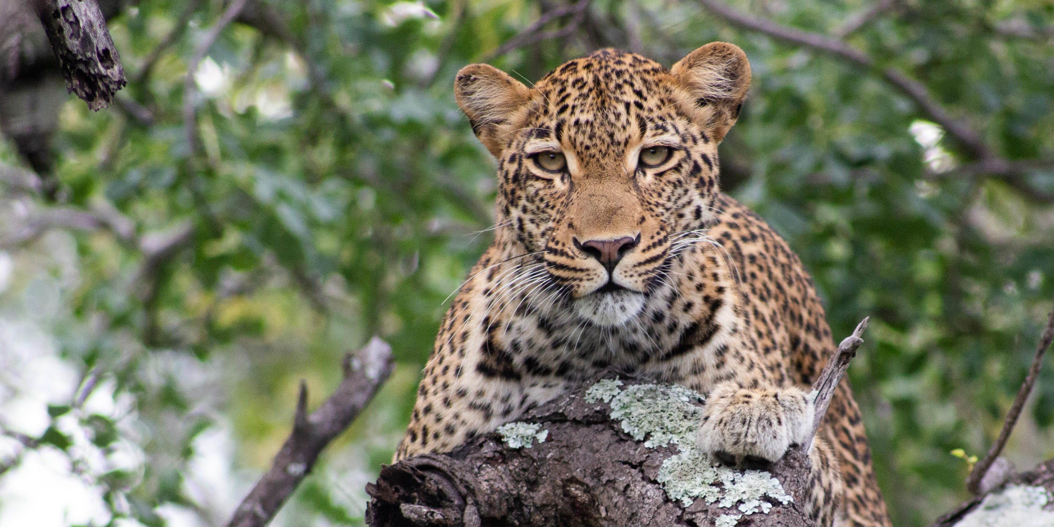 A leopard surveys a wildlife conservation intern from the treetops.