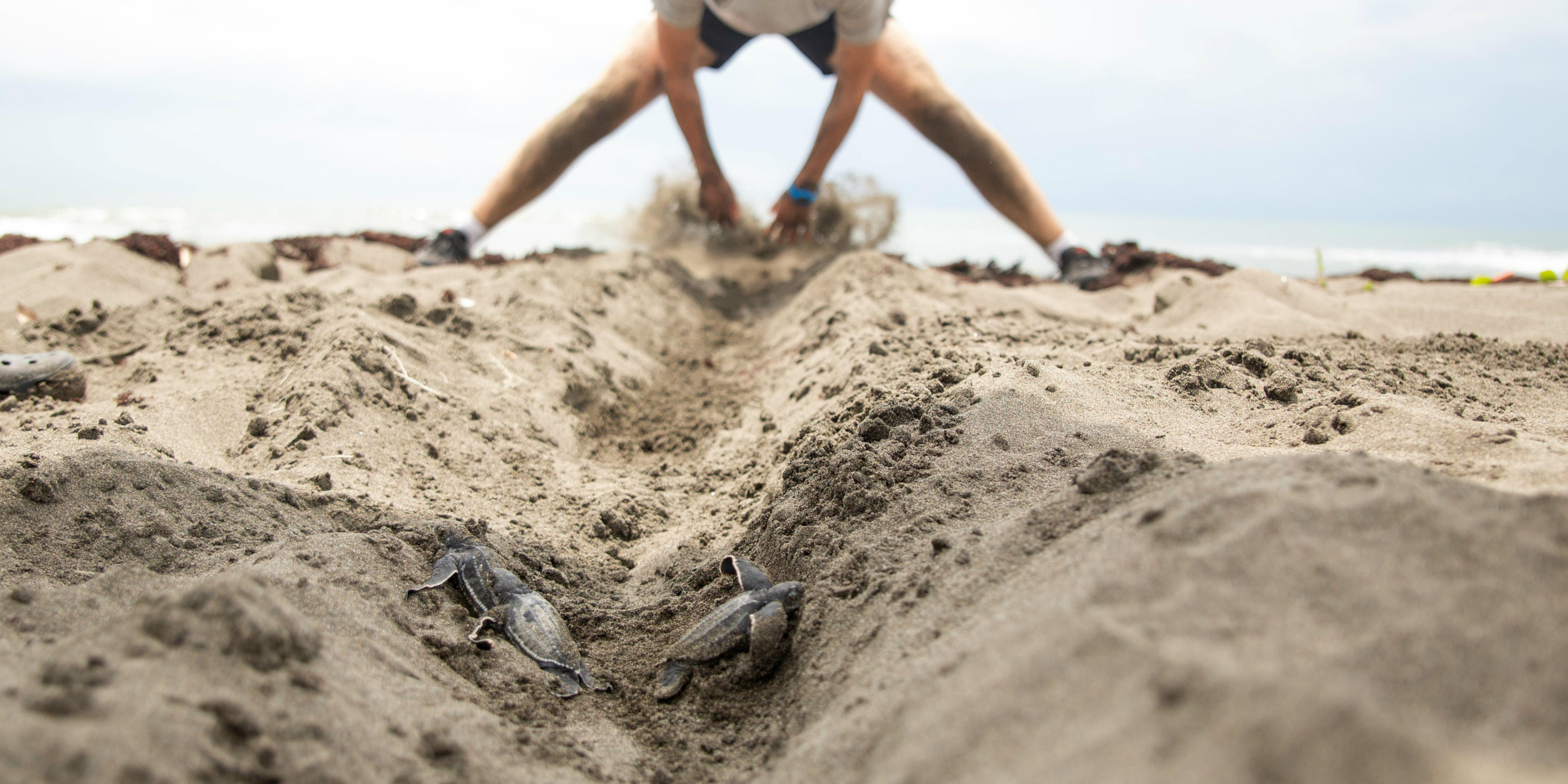 While volunteering with Costa Rica sea turtles, a GVI volunteer digs out a trench to help sea turtles hatchings make it to the water safely.