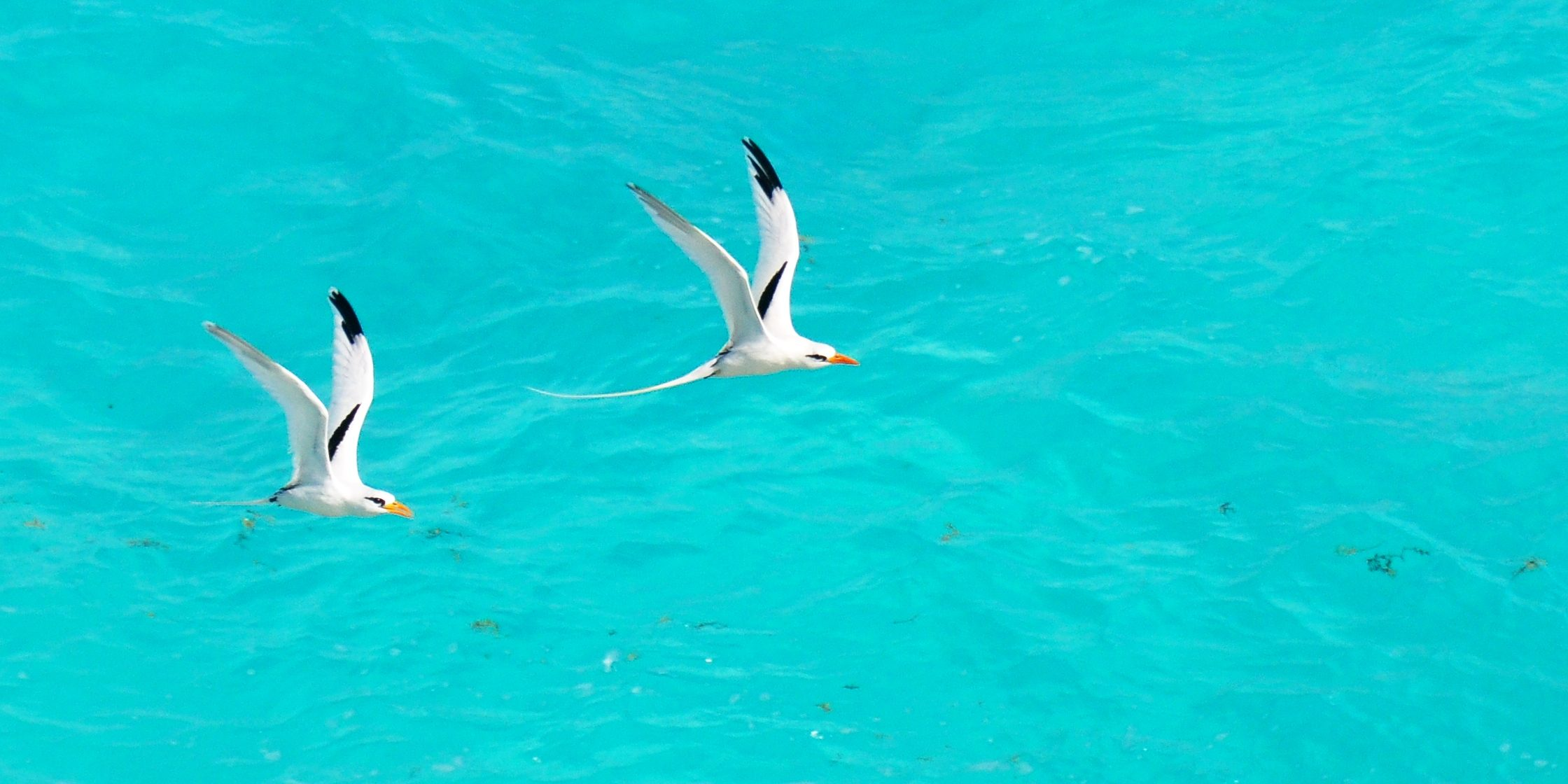 Two white-tailed tropicbirds glide through the skies of Bird Island, Seychelles, a conservation and ecotourism hotspot.