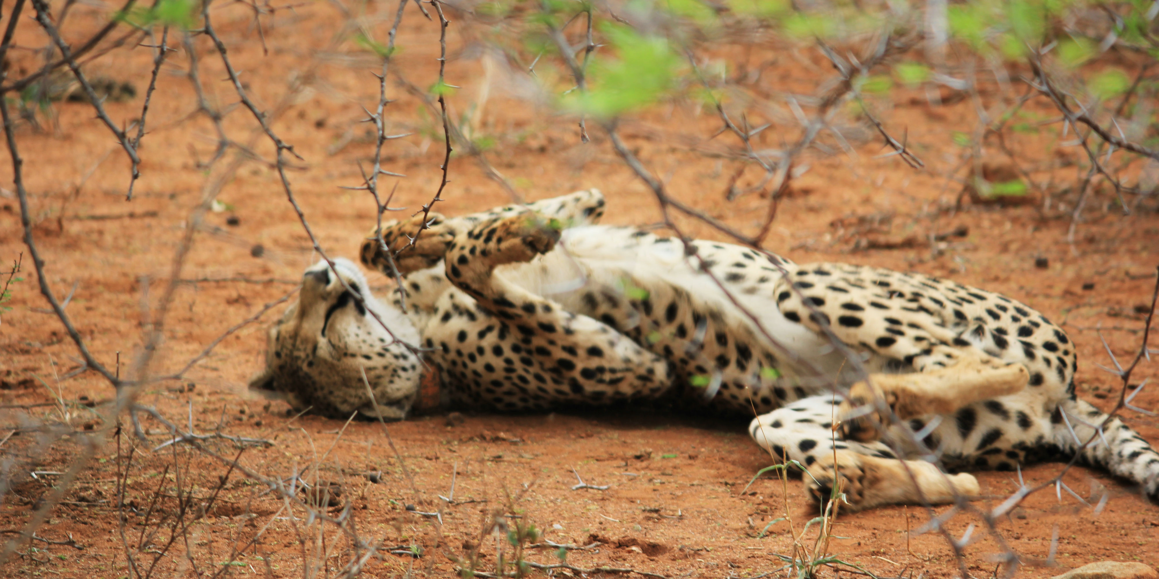 A South African cheetah female rubs her back in the soil.