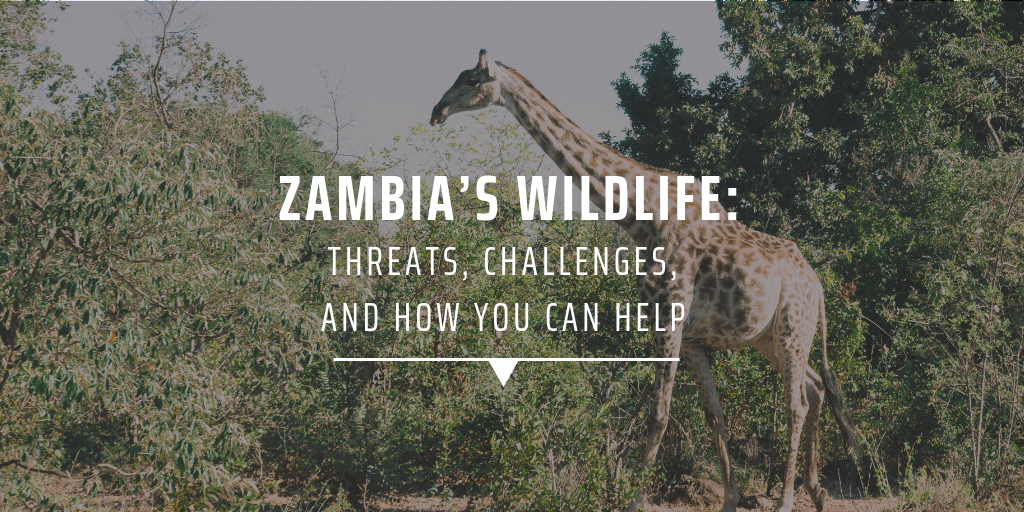 Zambia's wildlife: Threats, challenges, and how you can help