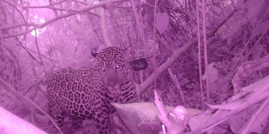 An elusive jaguar is spotted on one of GVI's camera traps, set up as part of a wildlife conservation project.