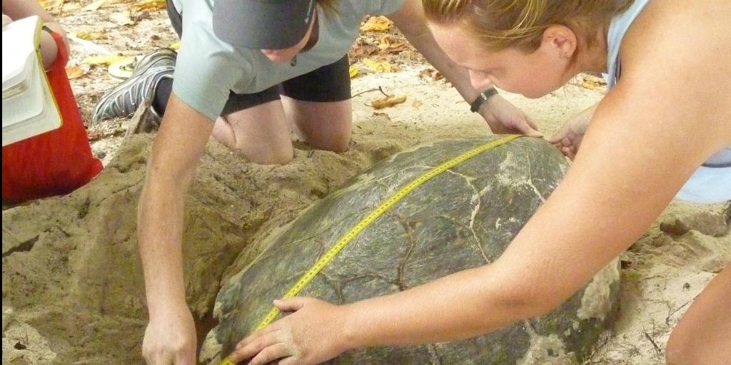 GVI volunteers measuring a sea turtle