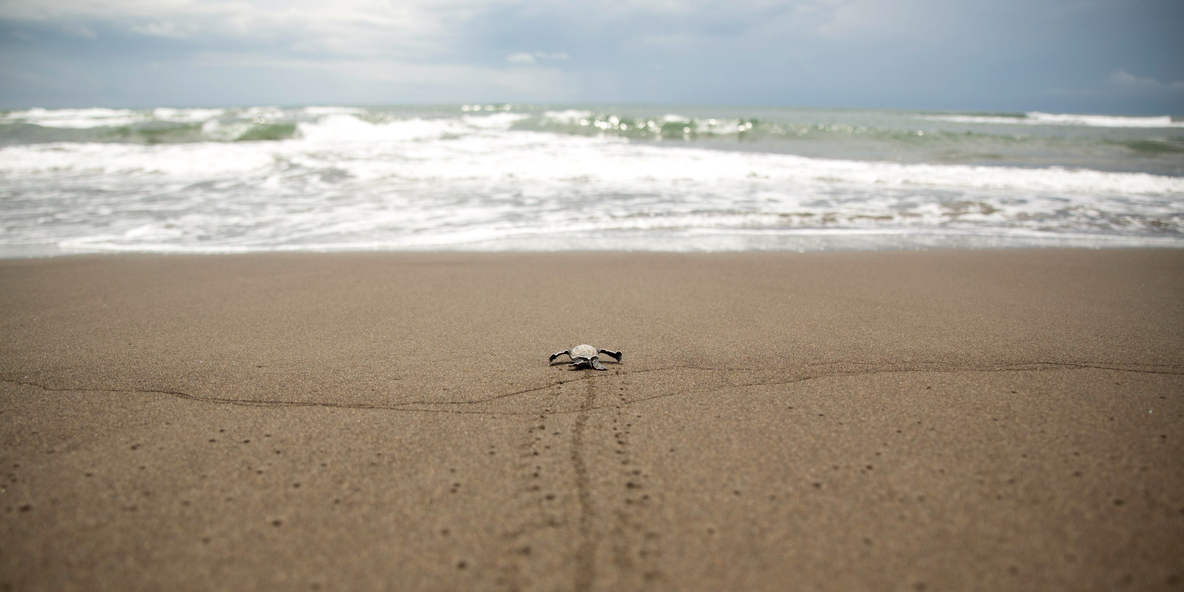 One of the endangered sea turtles in costa rica makes its way to the ocean.