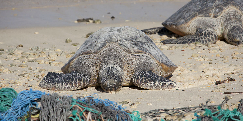 Adult sea turtles walk along a beach between marine debris.