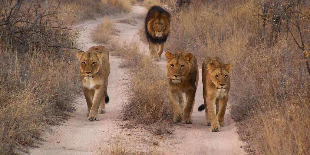 Volunteering in South Africa with animals could see you catching a glimpse of the mighty lion