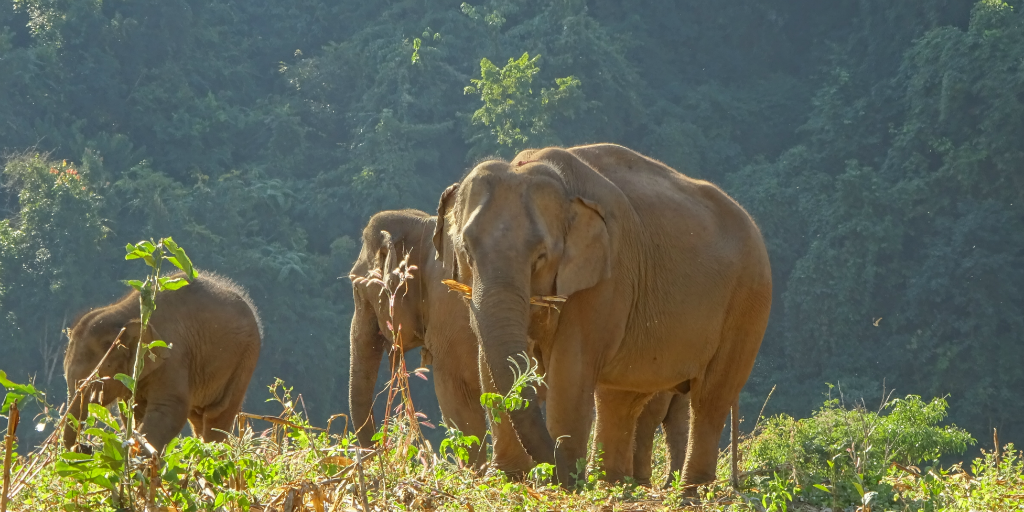 volunteer on GVI's Thailand elephant reintegration project in Chiang Mai and contribute to the conservation of elephants