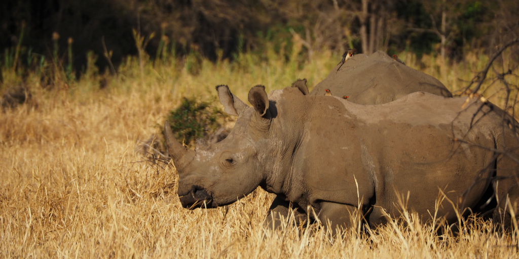 Volunteer in South Africa and contribute towards the conservation of endangered species, like Rhino