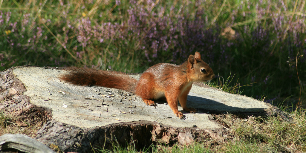 Squirrel pox is a fatal disease for the red squirrel.