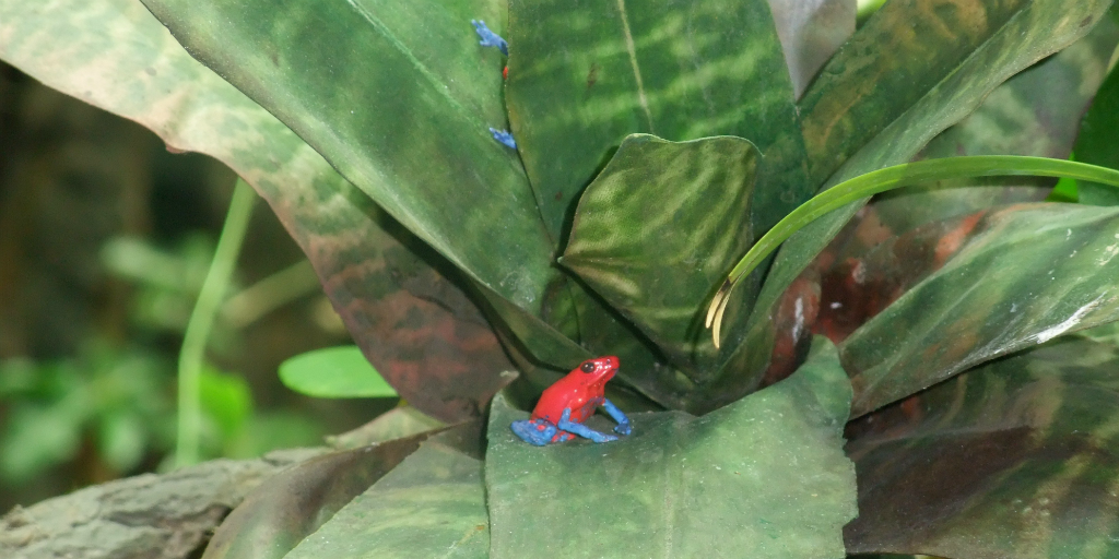 The strawberry poison dart frog has a unique call that makes it easy to trace.