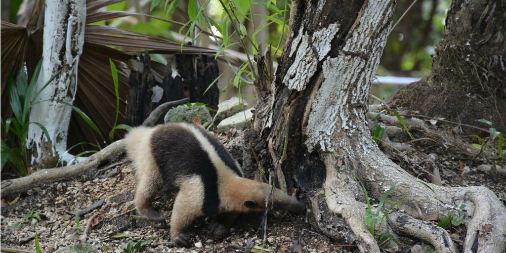 An anteater poking around the roots of a tree with its tongue.