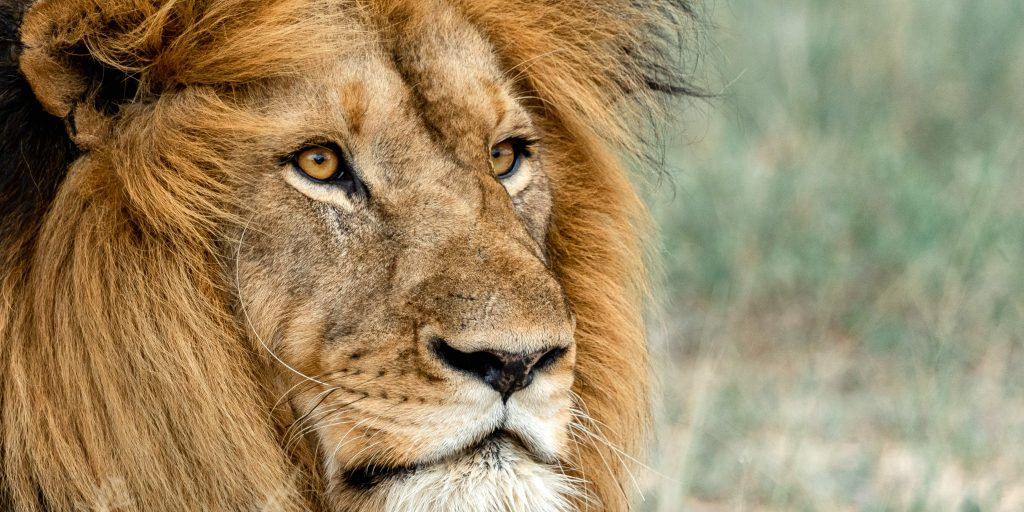 Volunteer in wildlife conservation in South Africa and see big mammals like lions.