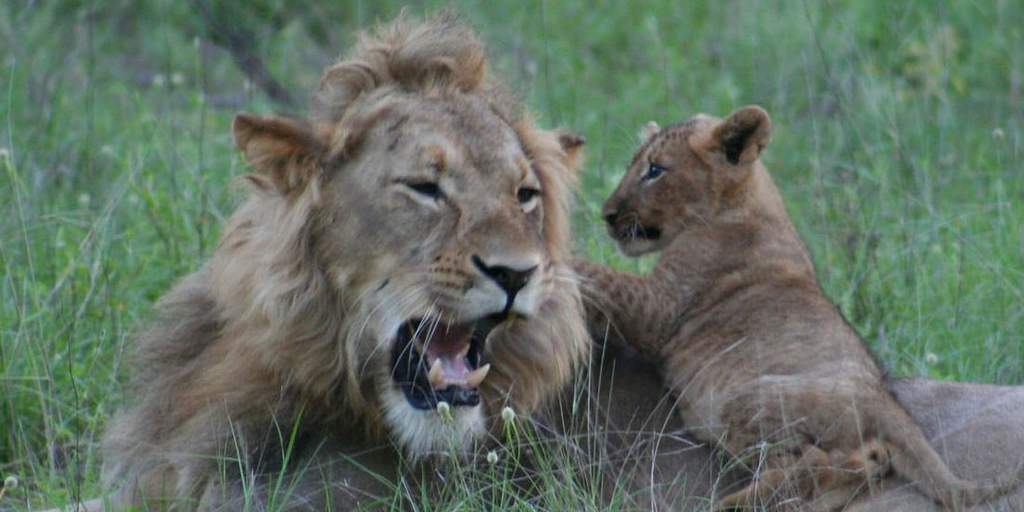 a lion and cub in Limpopo